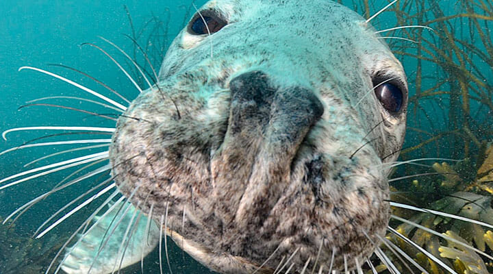 Snorkelling in Northumberland with seals